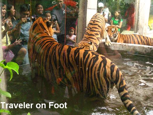 tigers at the Malabon Zoo